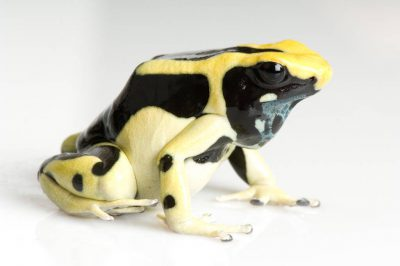A dyeing poison arrow frog (Dendrobates tinctorius regina morph), at Omaha's Henry Doorly Zoo.