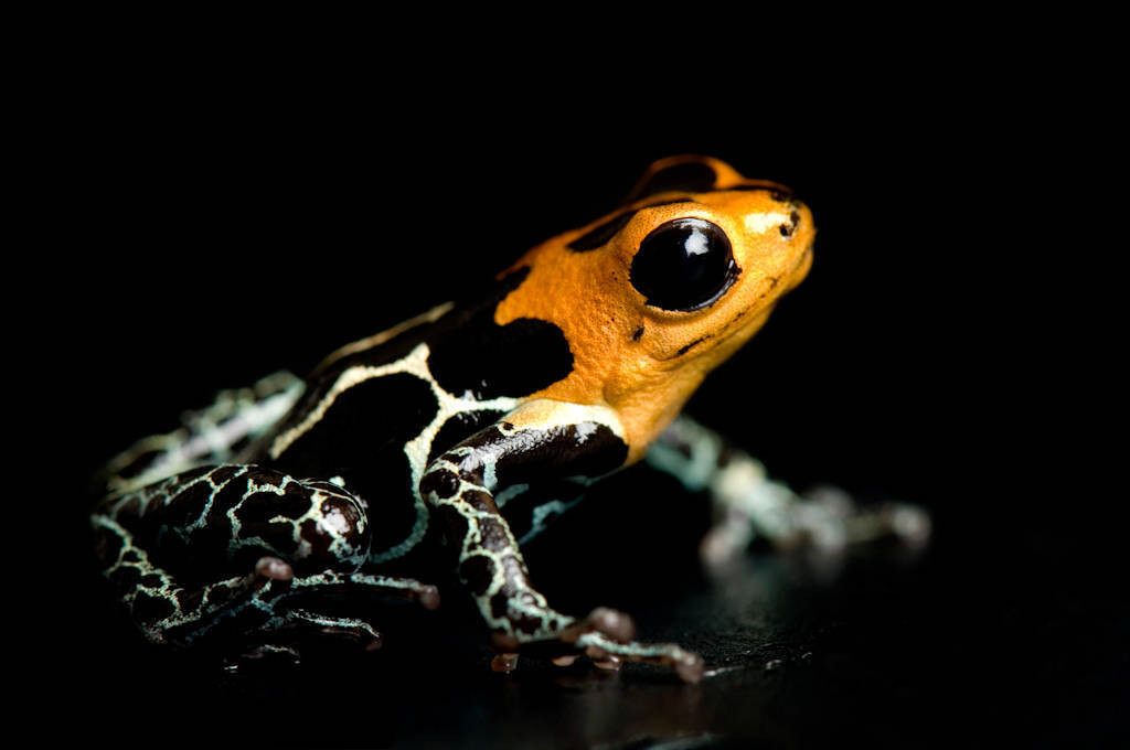 A fantastic poison dart frog (Ranitomeya fantasticus) at Omaha's Henry Doorly Zoo.