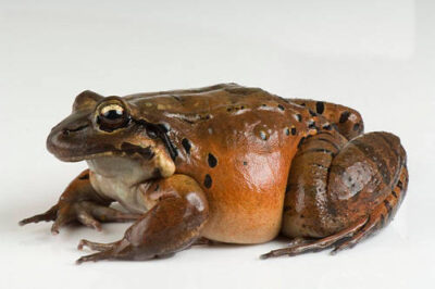 Photo: A mountain chicken frog (Leptodactylus fallax) at Omaha's Henry Doorly Zoo.
