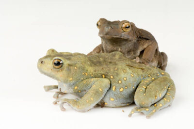 Two yellow-spotted climbing toads (Pedostibes hosii) at Omaha's Henry Doorly Zoo. The dark frog is male and light green frog is female.