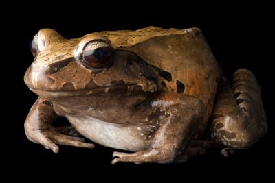 A smoky jungle frog (Leptodactylus pentadactylus) at Scaly Dave's Herp Shack.