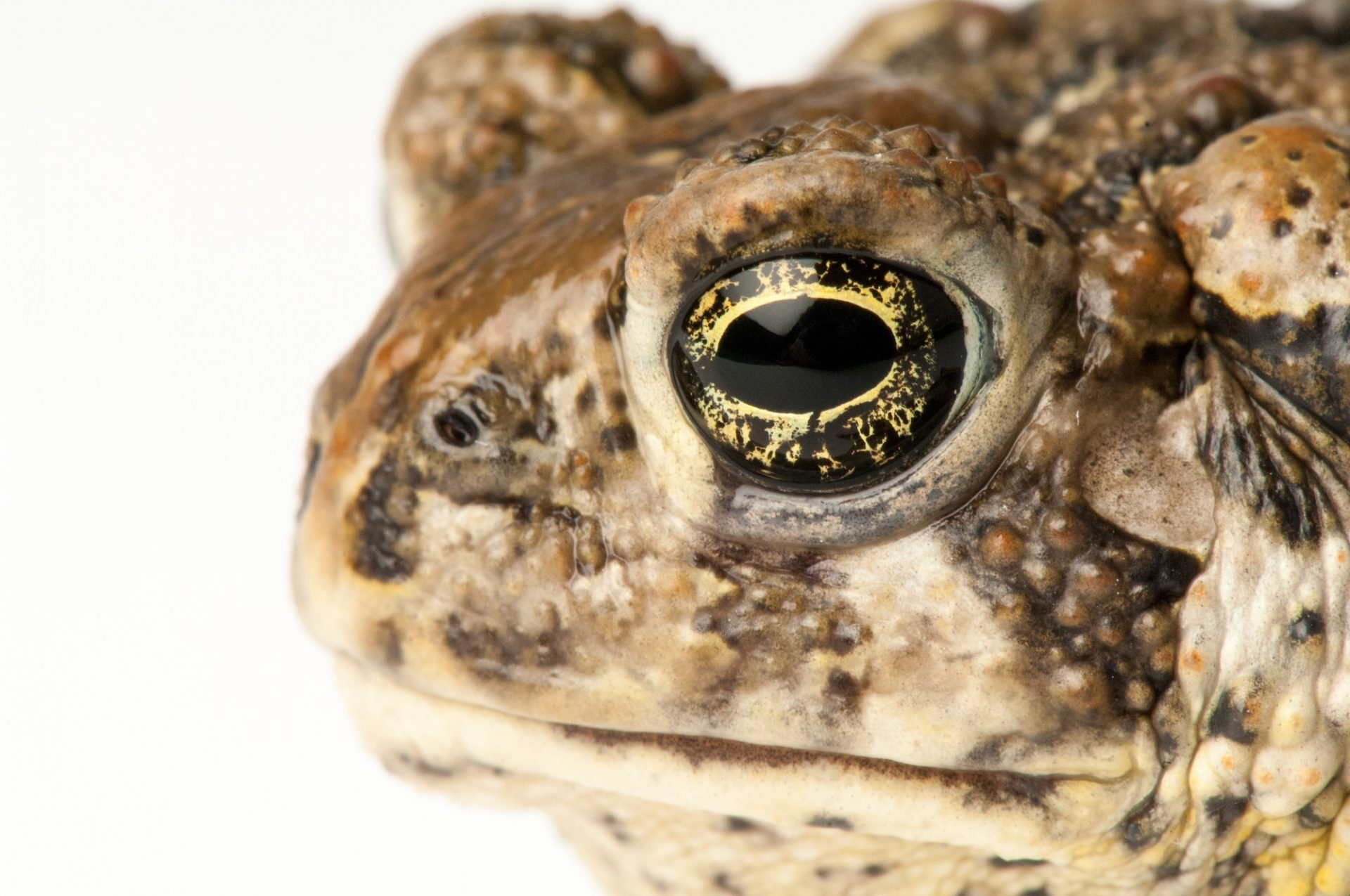 The federally endangered Wyoming toad (Anaxyrus (Bufo) baxterii) at the Cheyenne Mountain Zoo near Colorado Springs, CO. Considered extinct in the wild.
