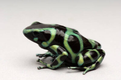 A green and black poison dart frog (Dendrobates auratus) at the Sedgwick County Zoo in Wichita, Kansas.