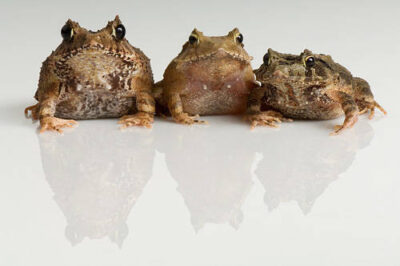 Photo: Three eyelash frogs (Caratobatrachus gnentheri) at Omaha's Henry Doorly Zoo.