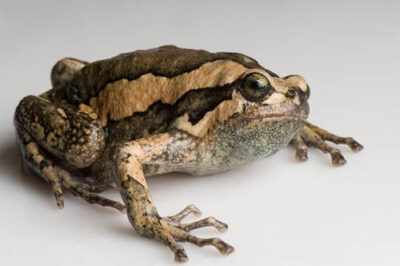 Photo: An Asian painted frog, or chubby frog (Kaloula pulchra) from the Fish N Stuff pet store in Yankton.
