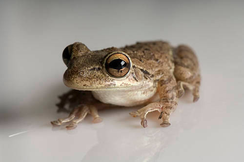 Photo: A Cuban Tree Frog (Osteopilus septentrionalis) from the Fish N Stuff pet store in Yankton.
