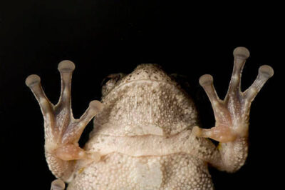 Photo: A gray tree frog (Hyla versicolor) at the aquarium at Gavins Point National Fish Hatchery.