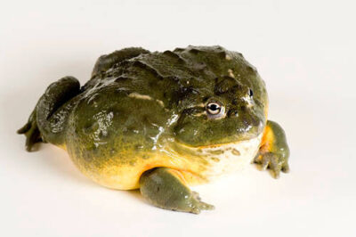 Photo: An African bullfrog (Oyxicephalus adspersus) at Reptile Gardens.