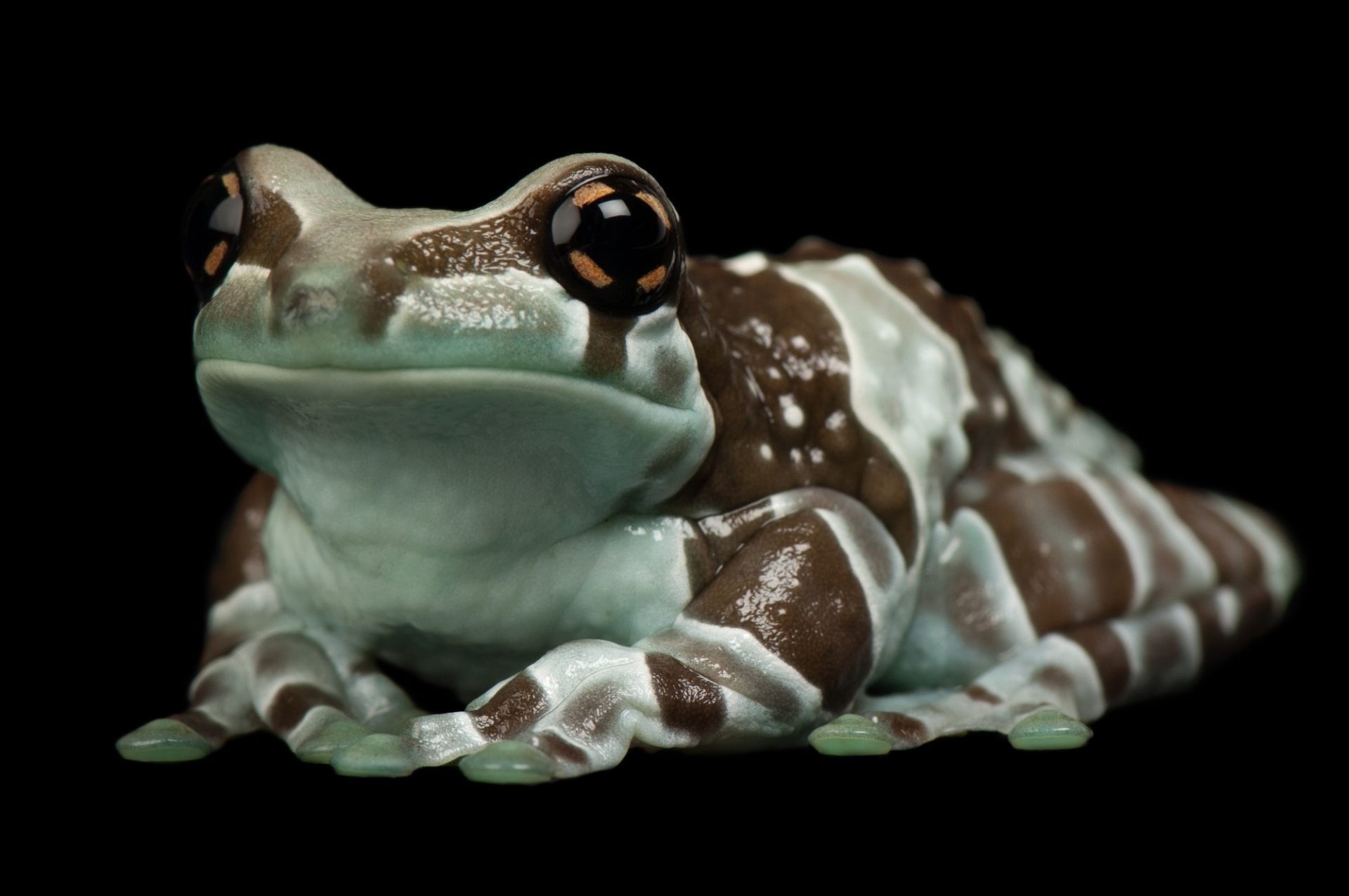 Photo: An Amazon milk tree frog (Trachycephalus resinifictrix) at Reptile Gardens.