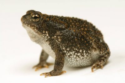 Photo: An oak toad (Anaxyrus (Bufo) quercicus) at Reptile Gardens.