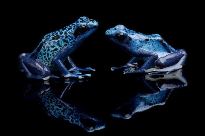 A pair of blue poison dart frogs (Dendrobates azureus) at Reptile Gardens.