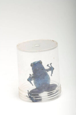 A blue poison dart frog (Dendrobates azureus) under a jar at Reptile Gardens.