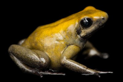 Photo: A black-legged poison dart frog (Phyllobates bicolor) at Reptile Gardens.