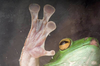 Photo: A giant Chinese tree frog (Rhacophorus dennysi) at Reptile Gardens.