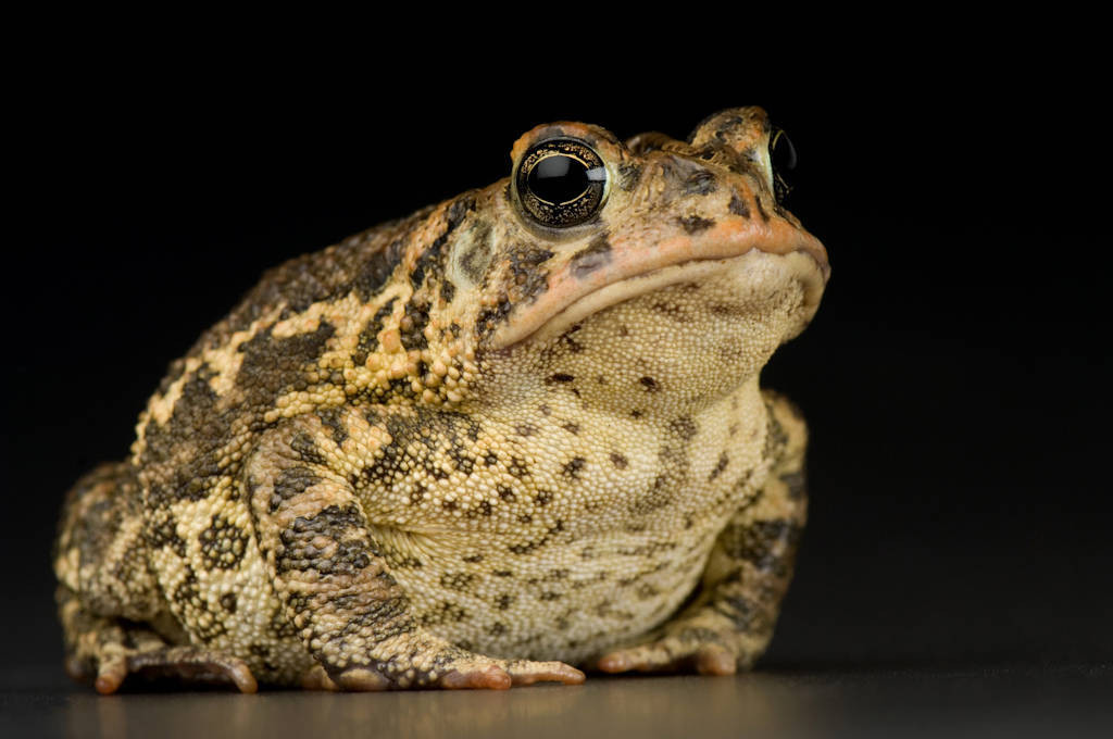 A southern toad (Anaxyrus terrestris) at Reptile Gardens.