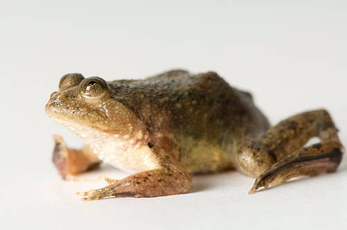 Photo: A floating spotted frog (Occidozyga lima) at Reptile Gardens.