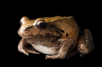 A smoky jungle frog, (Leptodactylus pentadactylus) at Scaly Dave's Herp Shack.