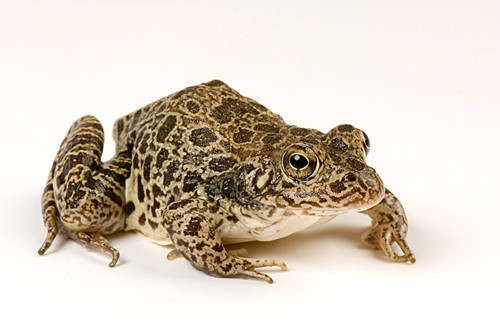 Southern crawfish frog (Lithobates (Rana) areolatus (areolata ssp.) photographed in a studio in Lincoln, NE.