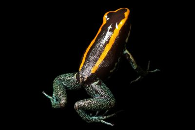 An endangered (IUCN) Golfo Dulcean poison frog (Phyllobates vittatus) from a private collection.
