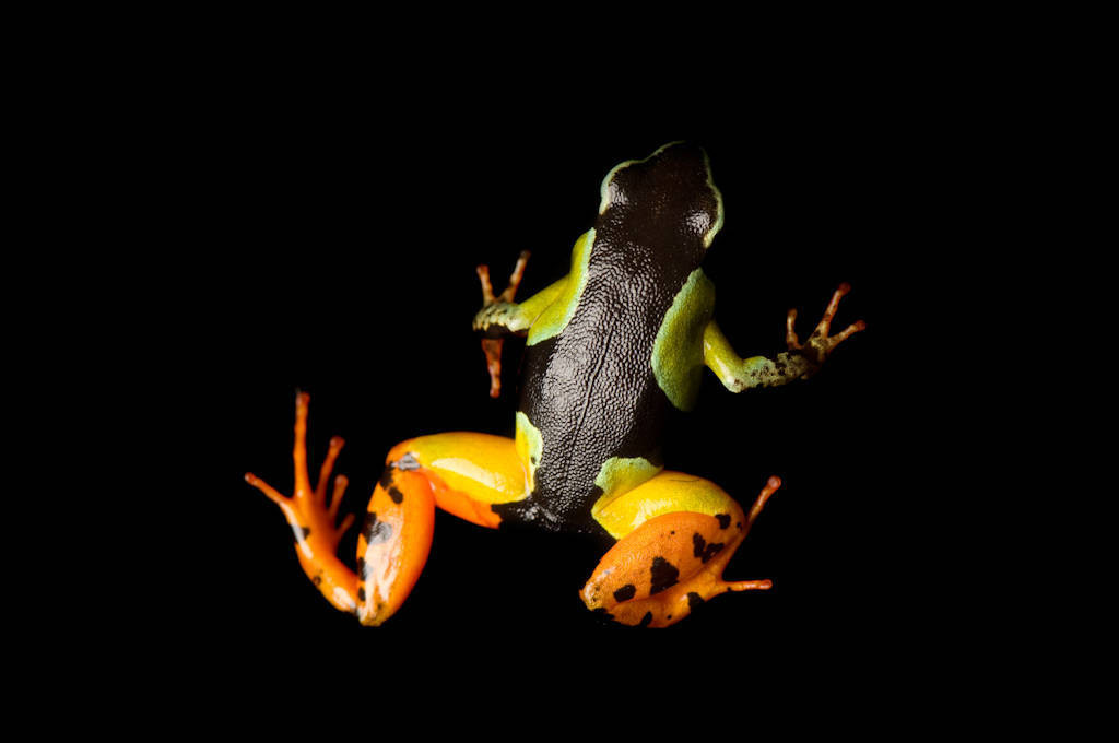 A vulnerable (IUCN) Madagascar painted frog (Mantella madagascariensis) from a private collection.
