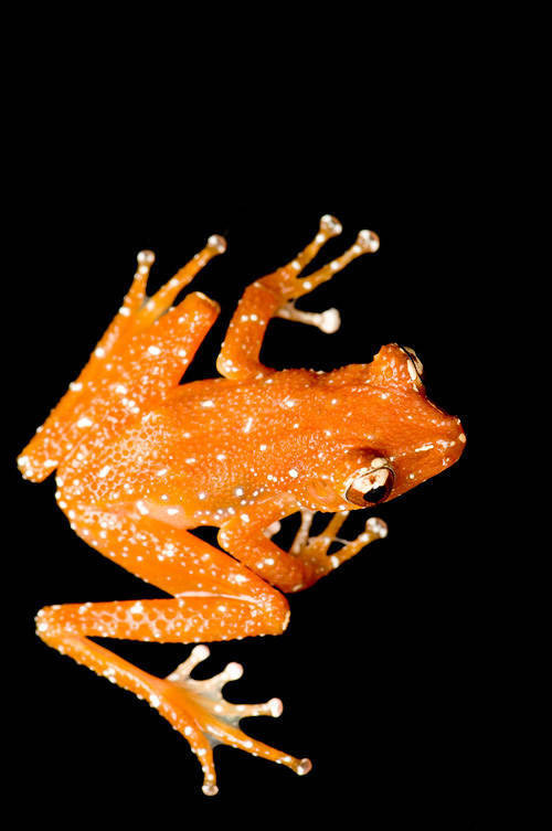 A Malaysian spotted tree frog (Theloderma pictum) from a private collection.
