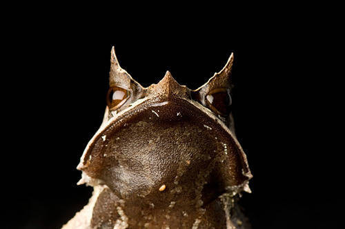 Malaysian horned leaf frog (Megophrys nasuta) from a private collection.