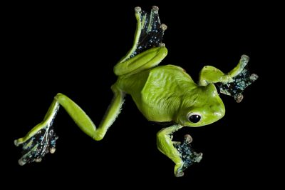 A Norhayati's flying frog (Rhacophorus norhayatii) from a private collection.