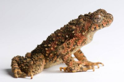 A Malaysian river toad (Phrynoidis aspera) from a private collection.