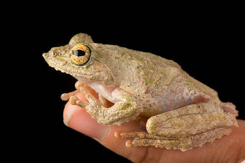 A Malaysian frilled tree frog (Rhacophorus appendiculatus) from a private collection.