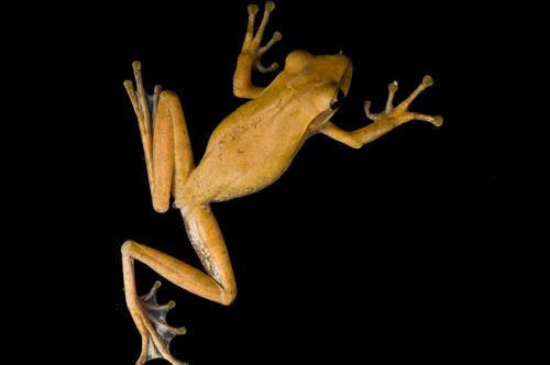A Malaysian golden gliding frog (Polypedates leucomystax) from a private collection.
