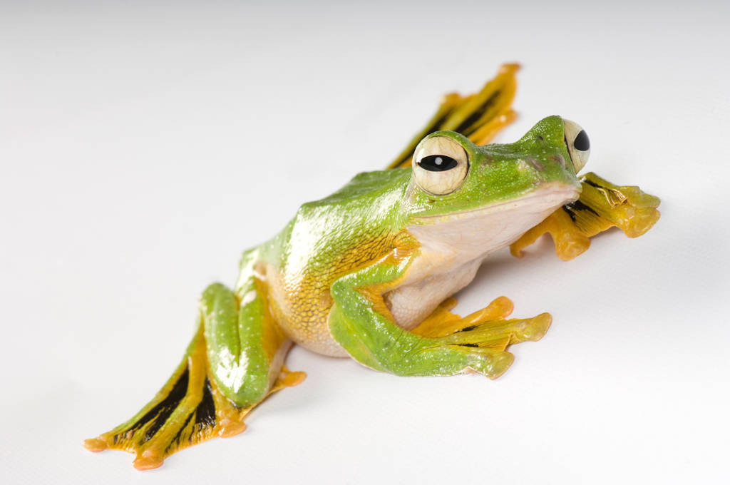 Wallace's gliding tree frog (Rhacophorus nigropalmatus) from a private collection.