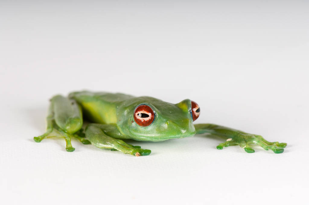 Madagascar glass frog (Boophis luteus) from a private collection.