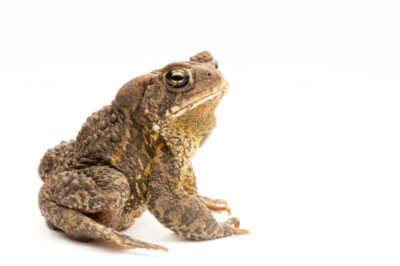 An American toad (Anaxyrus americanus) at the Genoa National Fish Hatchery.