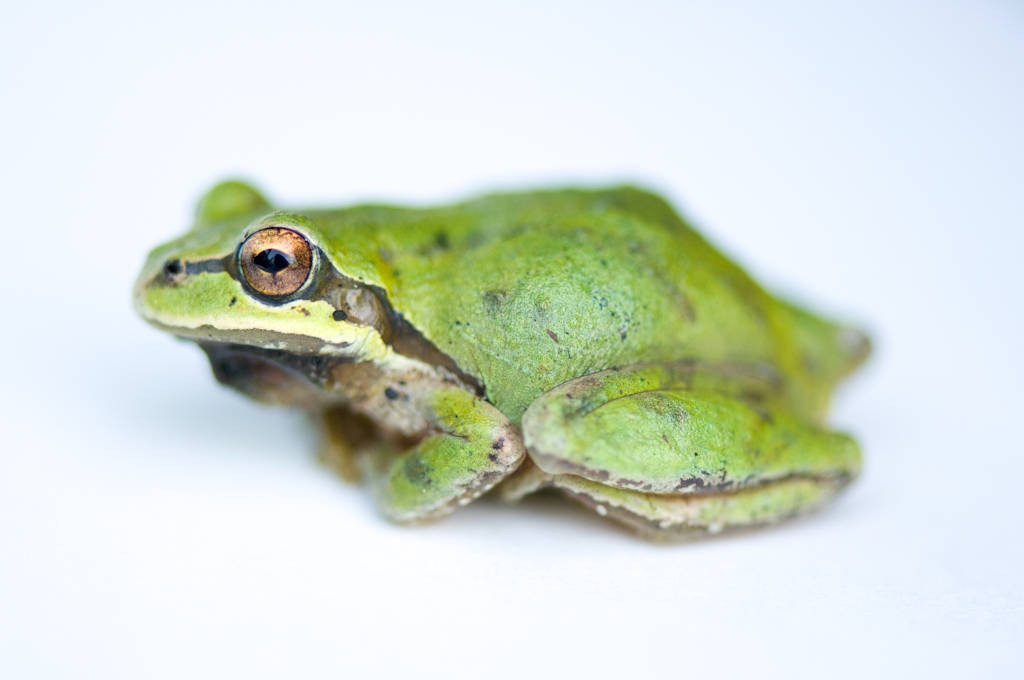 A Pacific treefrog (Pseudacris regilla), common in the Cowichan Garry Oak Preserve, an extremely rare type of forest in Canada.