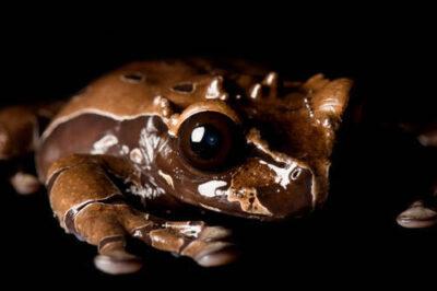 Spiny-headed treefrog (Anotheca spinosa) from central America at Zoo Atlanta.