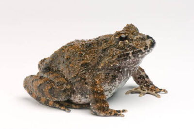 Toady rainfrog or rusty robber frog (Strabomantis or Craugastor bufoniformis), from Central America at Zoo Atlanta.