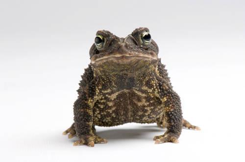Leopard-bellied scrub toad (Ollotis signifera) a species native to Panama, at Zoo Atlanta.