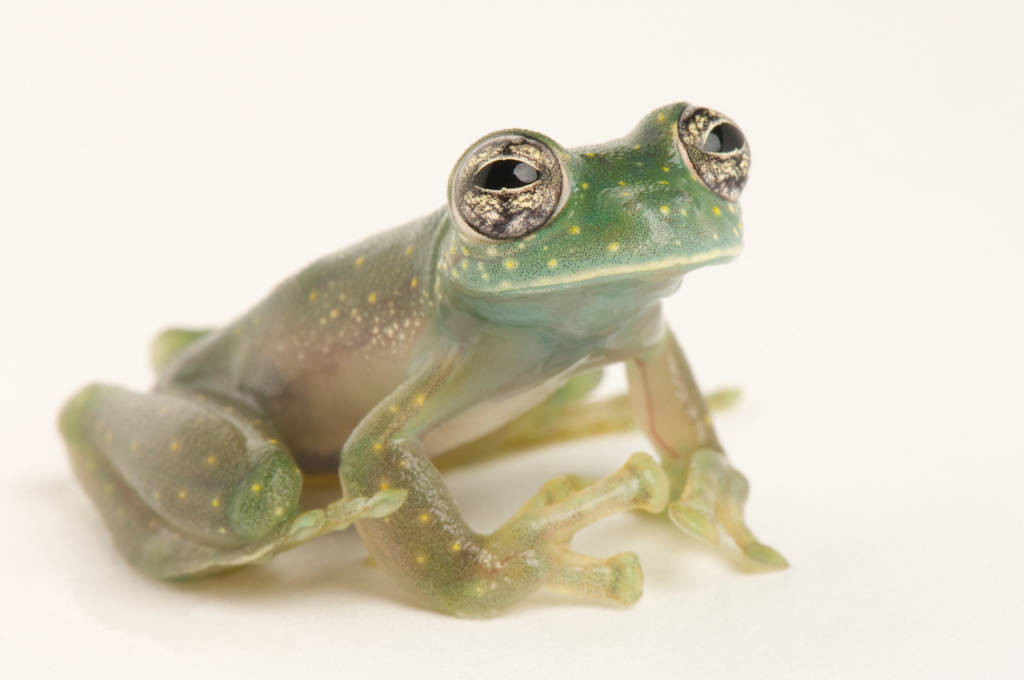 A male white-spotted glass frog or white-spotted cochran frog (Sachatamia albomaculata), a species native to Panama and Central America, at Zoo Atlanta.