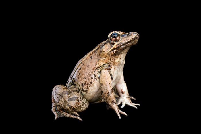 A Montezuma leopard frog (Lithobates montezumae) at the Chapultepec Zoo.