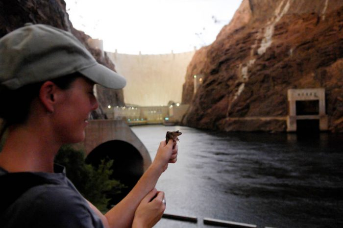 A biologist holds up an endangered (IUCN) relict leopard frog (Lithobates onca) near the Hoover Dam. This animal's habitat has been reduced over the years substantially. Though it is a candidate species for federal protection, federal and state agencies are working to ensure that it doesn't need to be listed.