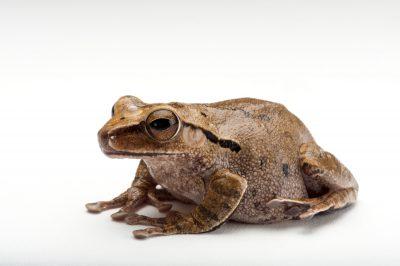 A big headed tree frog (Polypedates megacephalus) at the Houston Zoo.