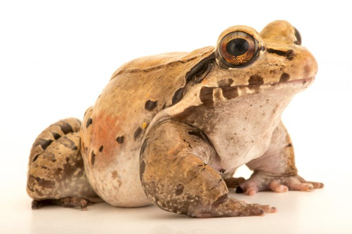 Picture of an Amazonian toad-frog (Leptodactylus knudseni) at the Central Florida Zoo.