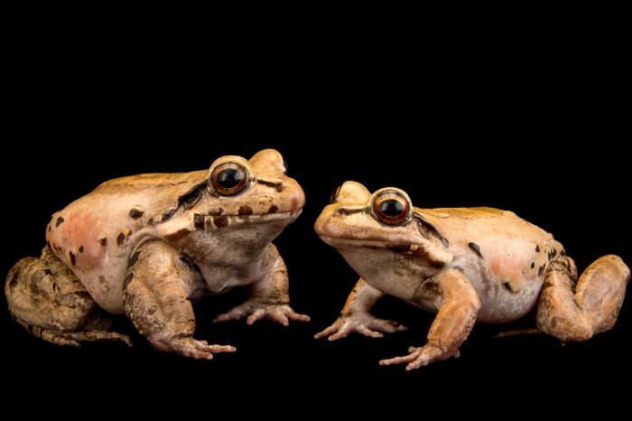 Picture of Amazonian toad-frogs (Leptodactylus knudseni) at the Central Florida Zoo.