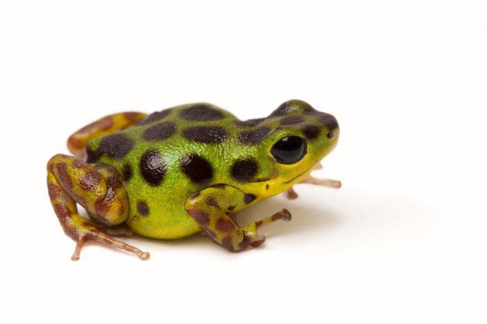Picture of a La gruta morph of the strawberry poison dart frog (Oophaga pumilio.)