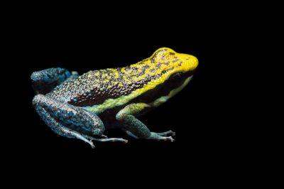 Rio Abiseo morph of the Pepperi poison dart frog (Ameerega pepperi).