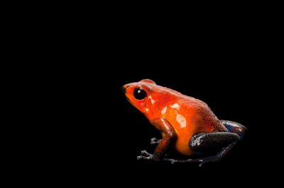 Picture of a morph of the strawberry poison dart frog (Oophaga pumilio.)
