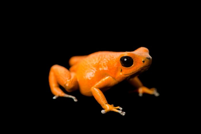 Picture of a Isla Nancy morph of the strawberry poison dart frog (Oophaga pumilio.)