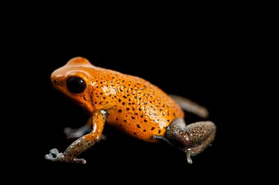 An Isla San Cristobal morph of the strawberry poison dart frog (Oophaga pumilio)