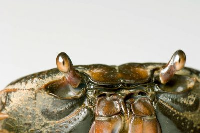 A soapdish crab (Clariosoma camifax) at the Safari Land Pet Store.