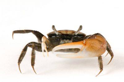 Fiddler crab (Uca pugnax) at the Safari Land Pet Store.